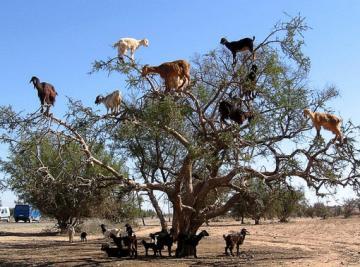 Goat's Tree